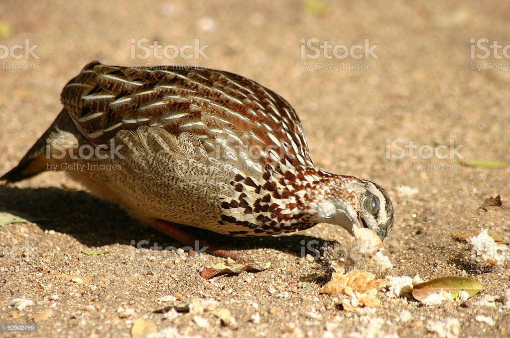 Francolin royalty-free stock photo