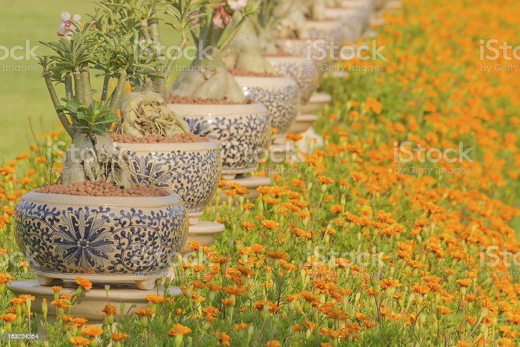 Frangipani and marigold. royalty-free stock photo