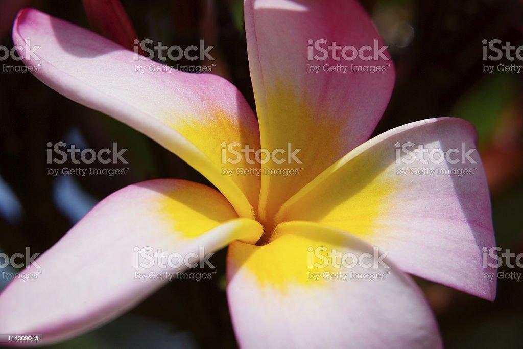 Frangipani blossom royalty-free stock photo