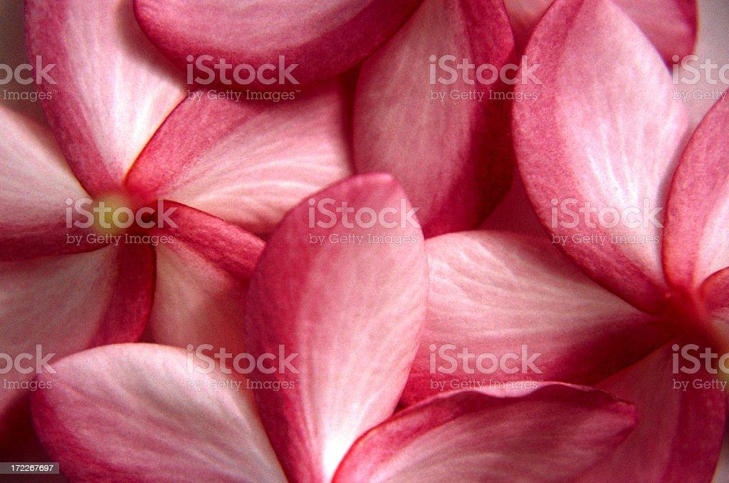 Frangipani Blossoms royalty-free stock photo