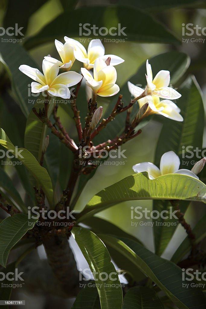 Frangipani Branch vert royalty-free stock photo