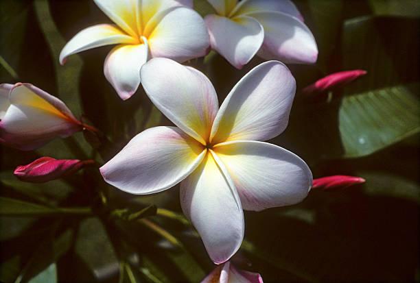 Frangipani (Plumeria rubra) closeup A beautiful tropical flower, the Fangipani has a wonderful tropical aroma too. hearkencreative stock pictures, royalty-free photos & images