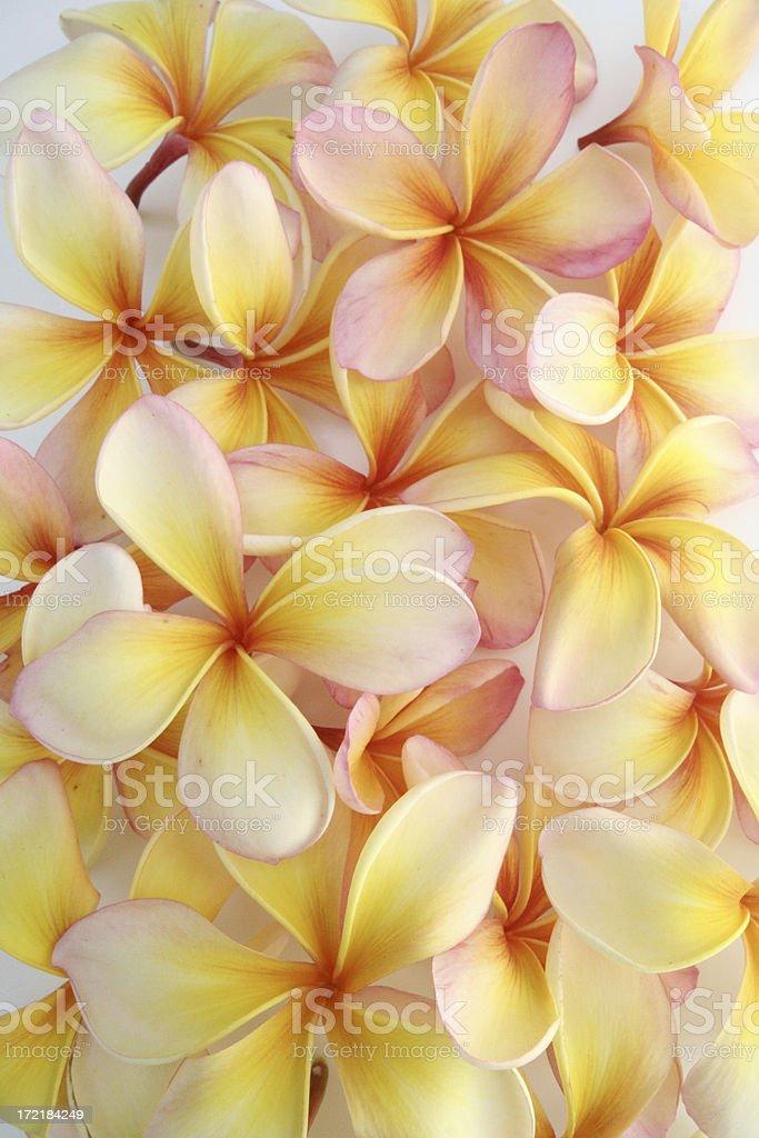 Frangipani Flower Background royalty-free stock photo
