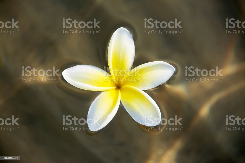 Frangipani Flower Floating on Water stock photo