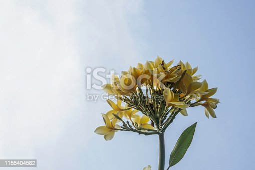 istock frangipani flower for background 1155404562