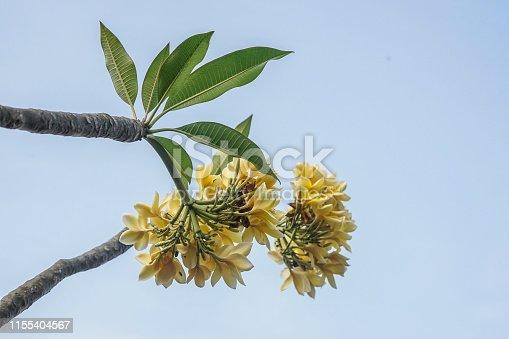 istock frangipani flower for background 1155404567