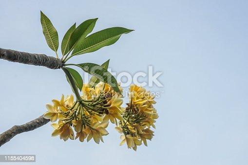 istock frangipani flower for background 1155404598