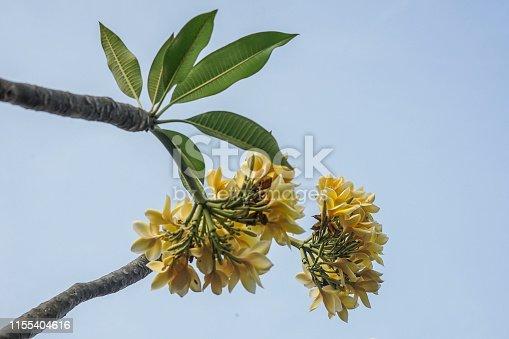 istock frangipani flower for background 1155404616