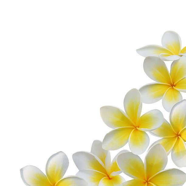 frangipani (plumeria) flower frame - hawaiian flowers stock photos and pictures