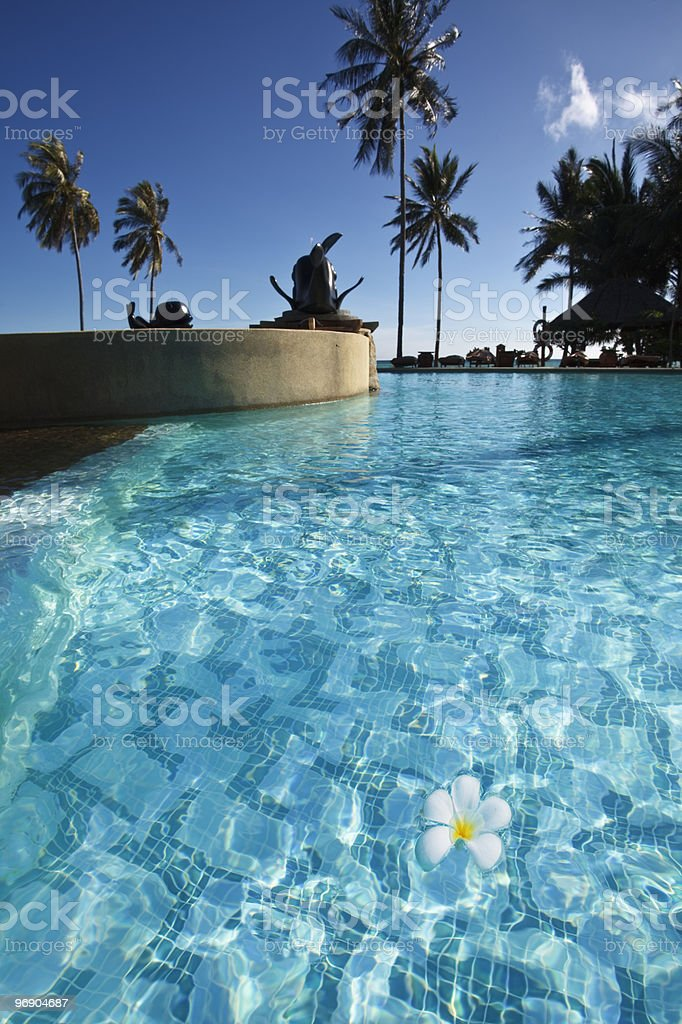 Frangipani flower in a swimming pool . royalty-free stock photo