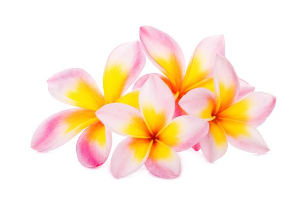 Frangipani flower isolated on white background picture id1168512897?b=1&k=6&m=1168512897&s=612x612&w=0&h=cs0c  ghtcnufgzpehnrh merdpc7lga5qtm2xsqrsw=