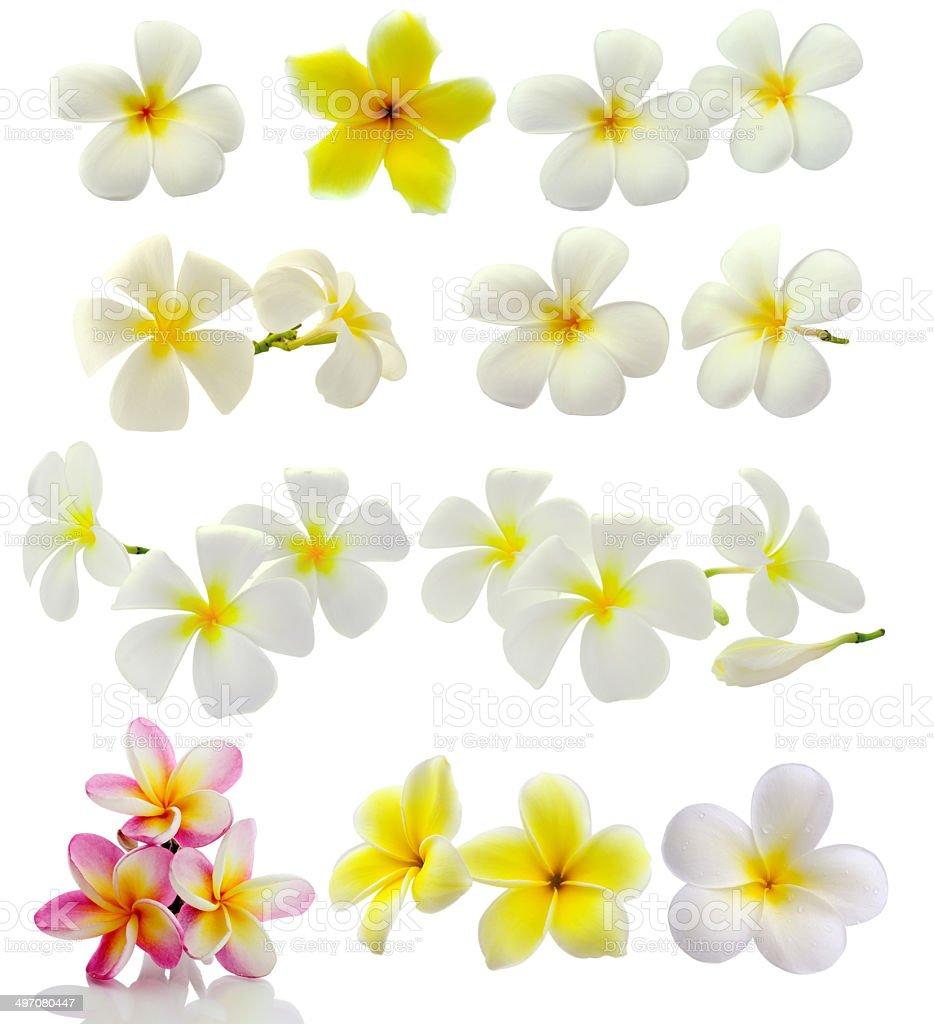 Frangipani flower isolated on white background royalty-free stock photo