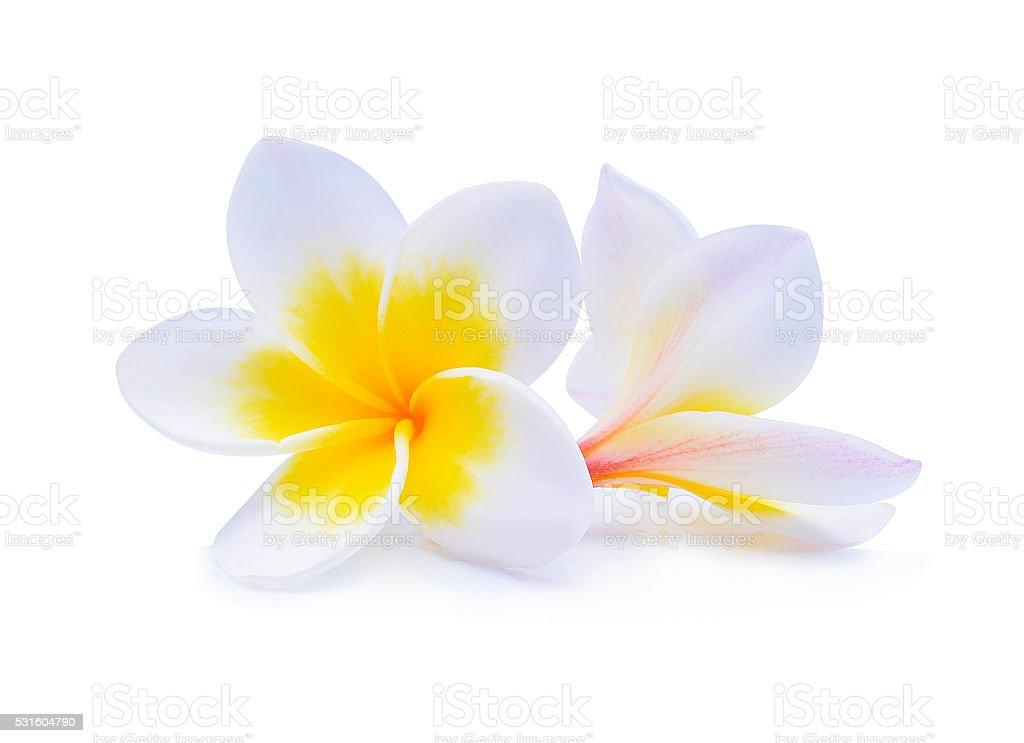 frangipani flower isolated on white background stock photo