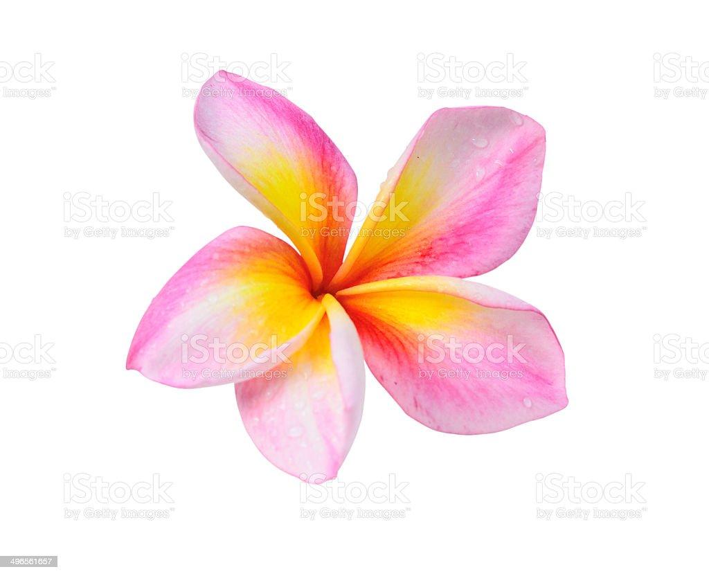 Frangipani flower isolated on white royalty-free stock photo