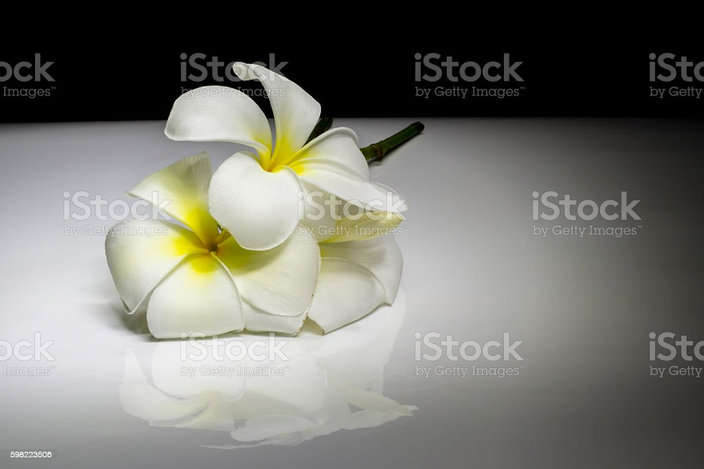 frangipani flower on black and white gradient lighting backgroun foto royalty-free