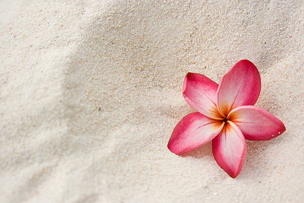 frangipani (plumeria) flower on sand - hawaiian flowers stock photos and pictures