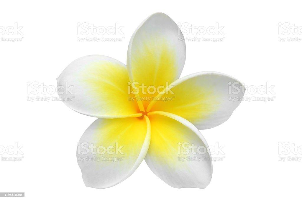 Frangipani (plumeria) flower stock photo