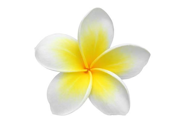frangipani (plumeria) flower - hawaiian flowers stock photos and pictures