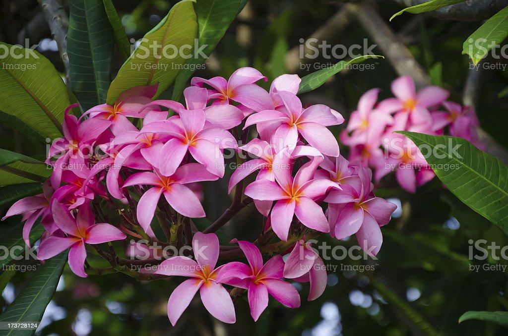 Frangipani (plumeria) flower royalty-free stock photo