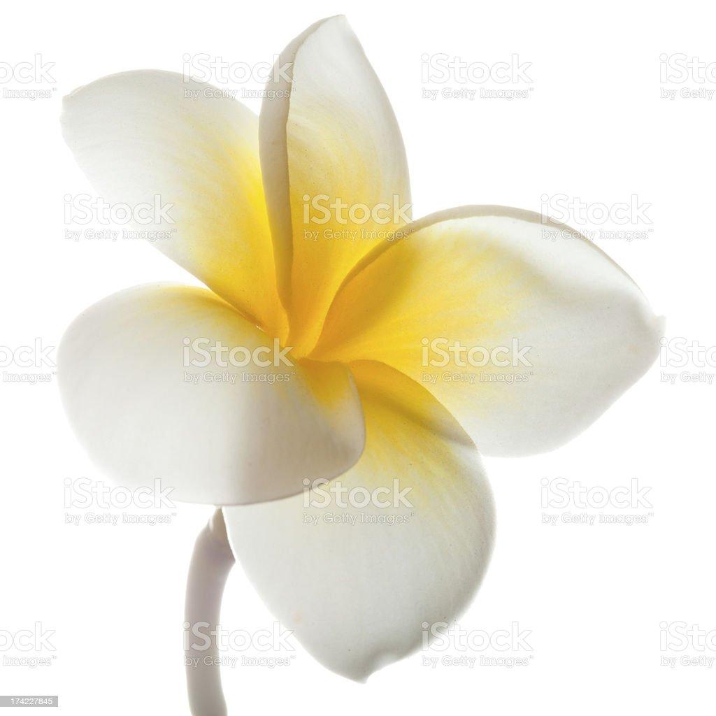 chafa flower hd