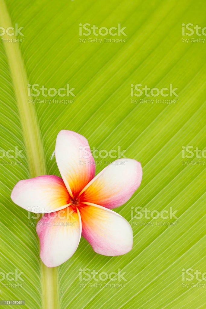 frangipani flower stock photo