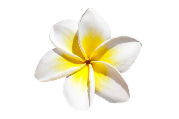 Frangipani flower picture id881515752?b=1&k=6&m=881515752&s=612x612&w=0&h=oufi64dis3nyurtn tzfauydzn2vubwo25cmvaqa9fe=