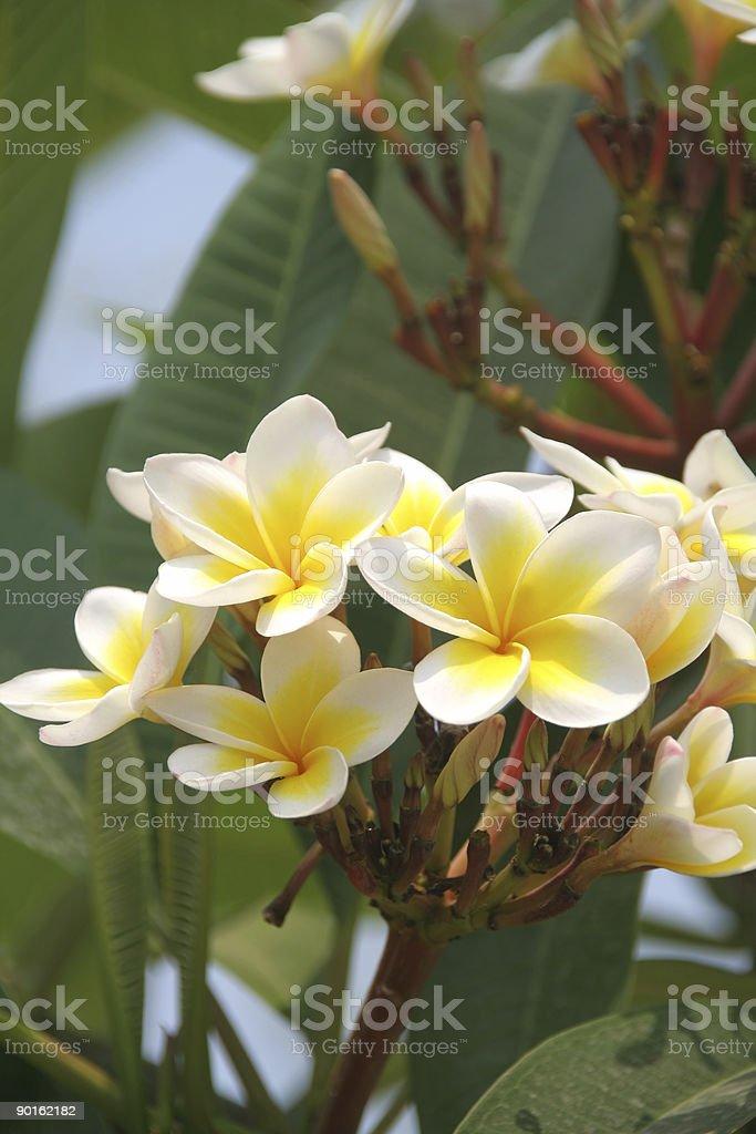 Frangipani(plumeria,) flower stock photo