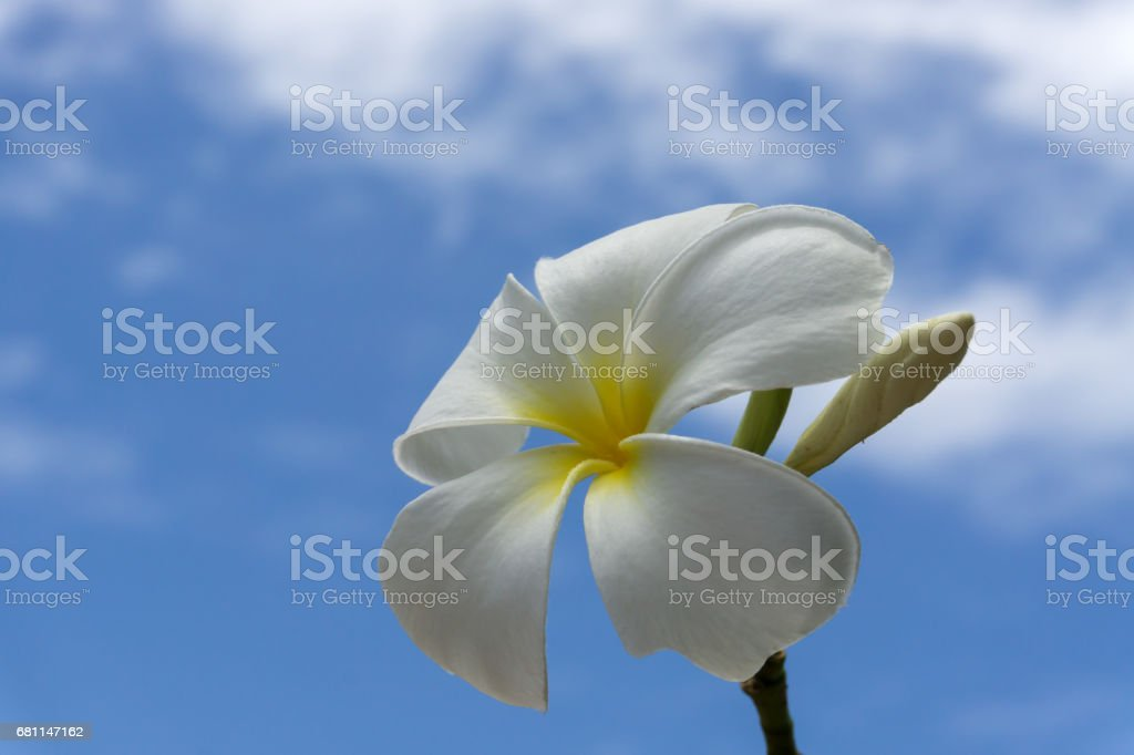 frangipani flower with blue sky and cloud. royalty-free stock photo