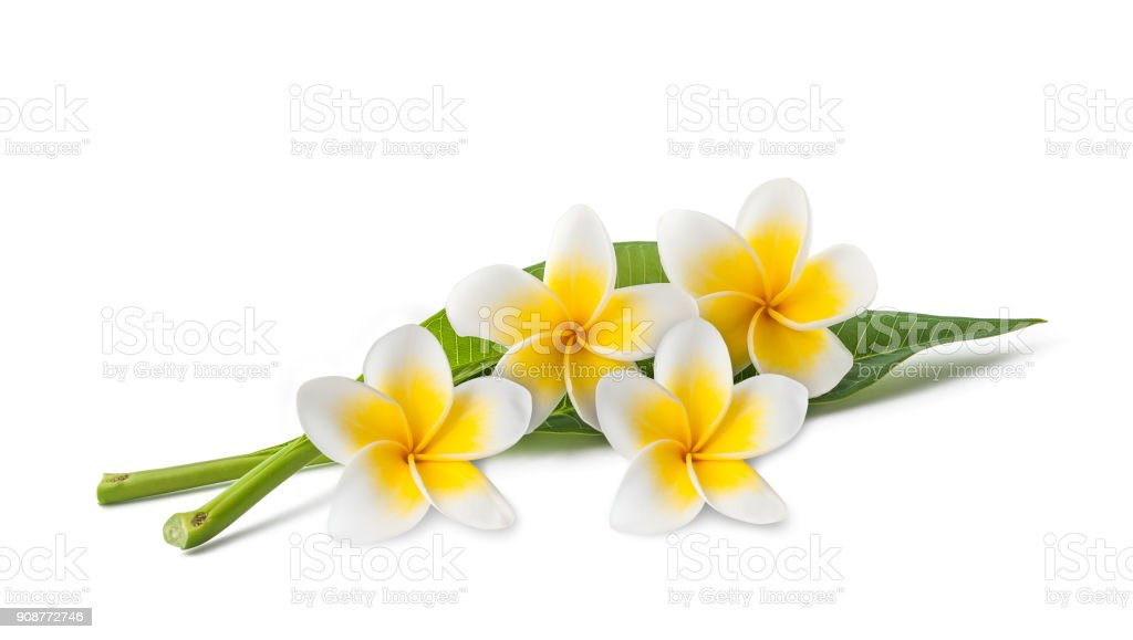 Frangipani flowers and leaves stock photo