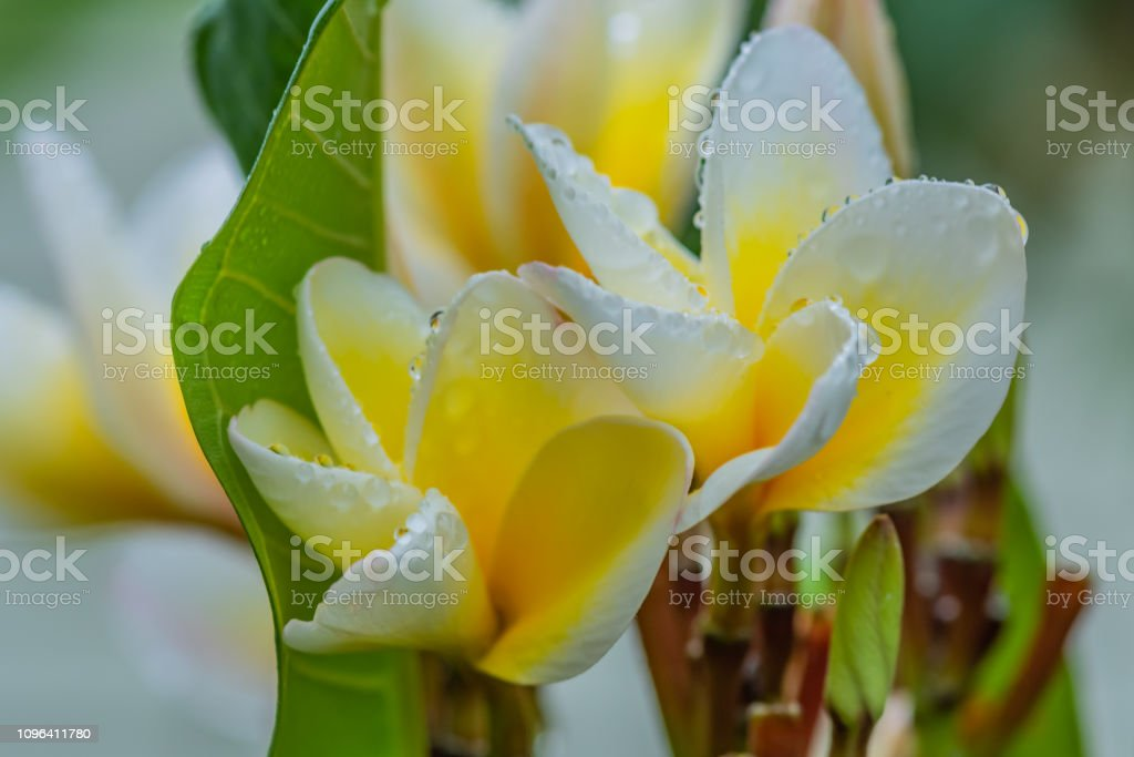 Frangipani Flowers in the Rain stock photo
