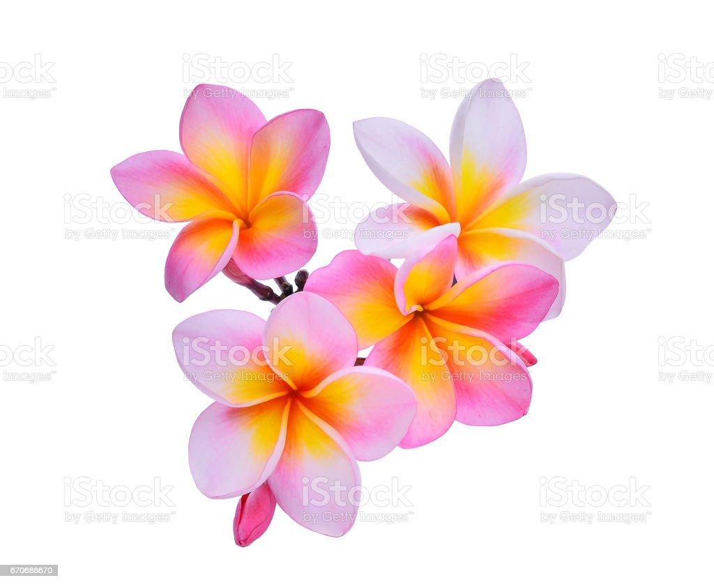 frangipani flowers isolated on white background stock photo