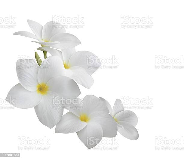 Frangipani flowers isolated on white picture id147891334?b=1&k=6&m=147891334&s=612x612&h=csahncwf7kwcm2ccdjbwiae3yu7lgdmogeoqeqiwnrw=
