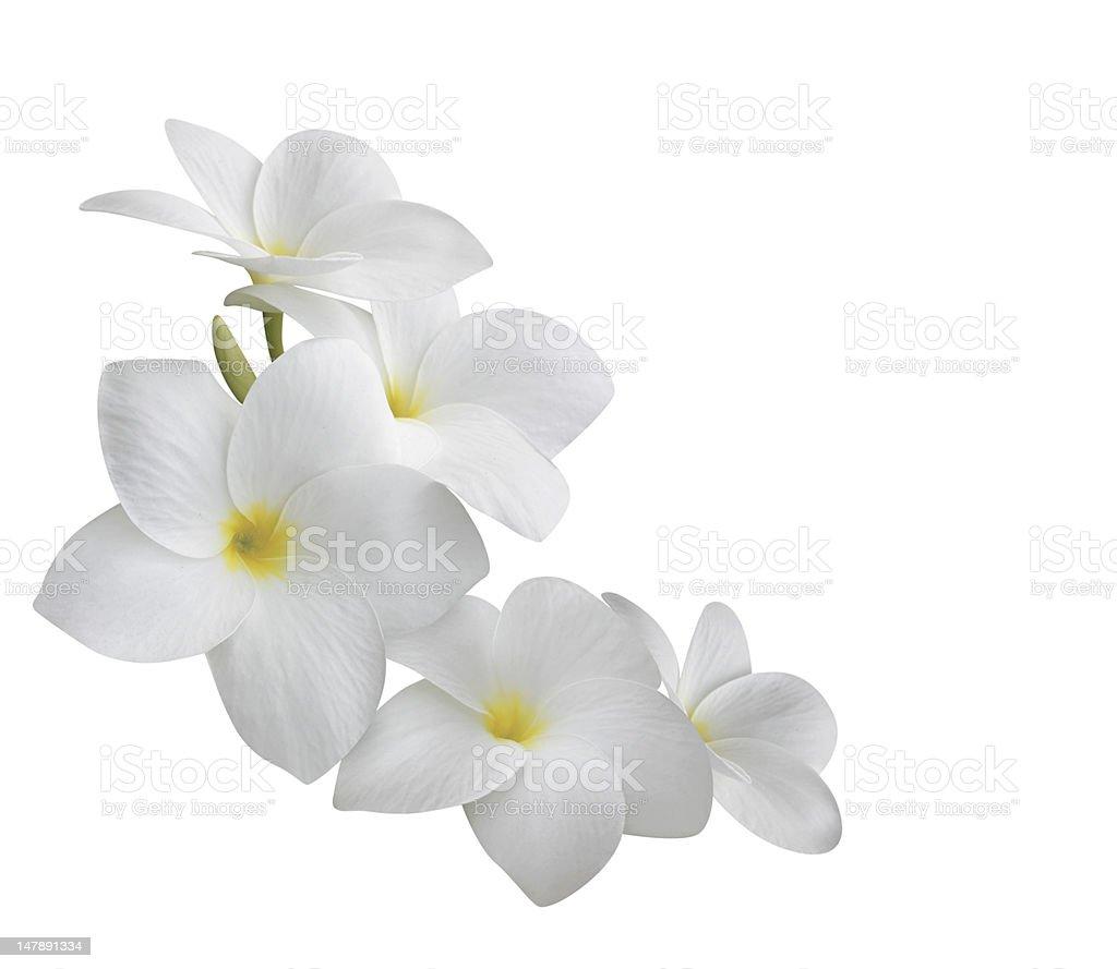Frangipani (plumeria) flowers isolated on white stock photo
