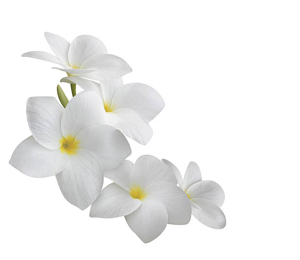 frangipani (plumeria) flowers isolated on white - hawaiian flowers stock photos and pictures