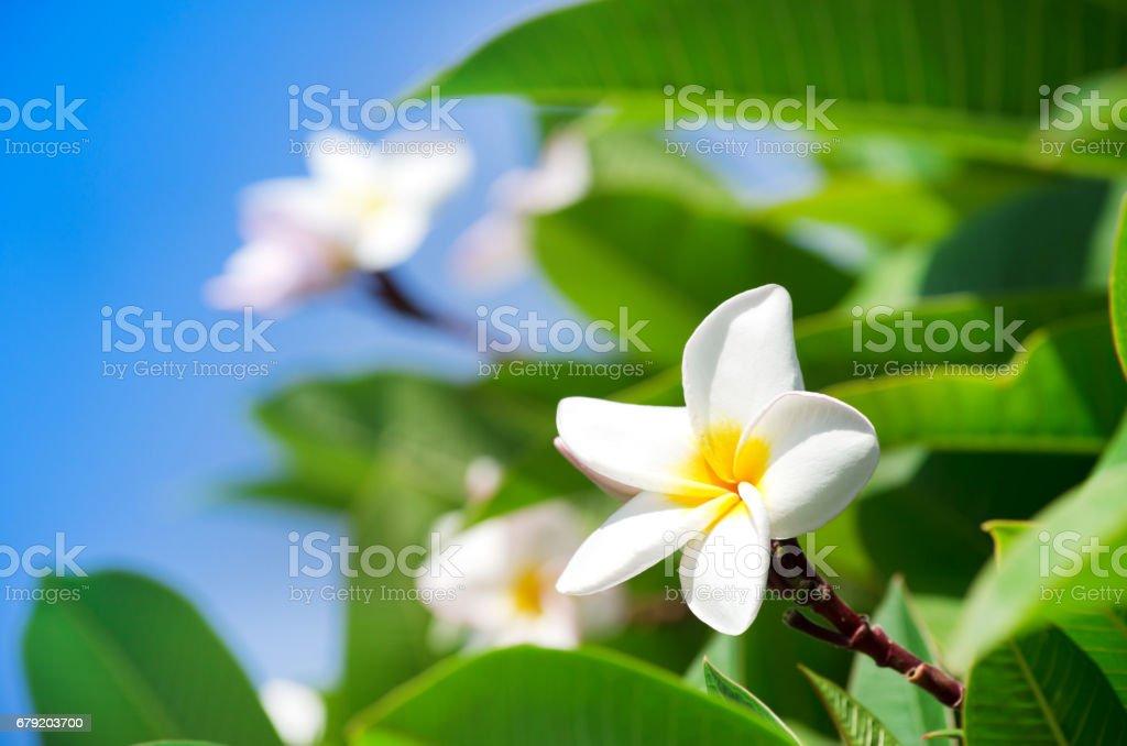 Frangipani flowers on a tree in the garden photo libre de droits