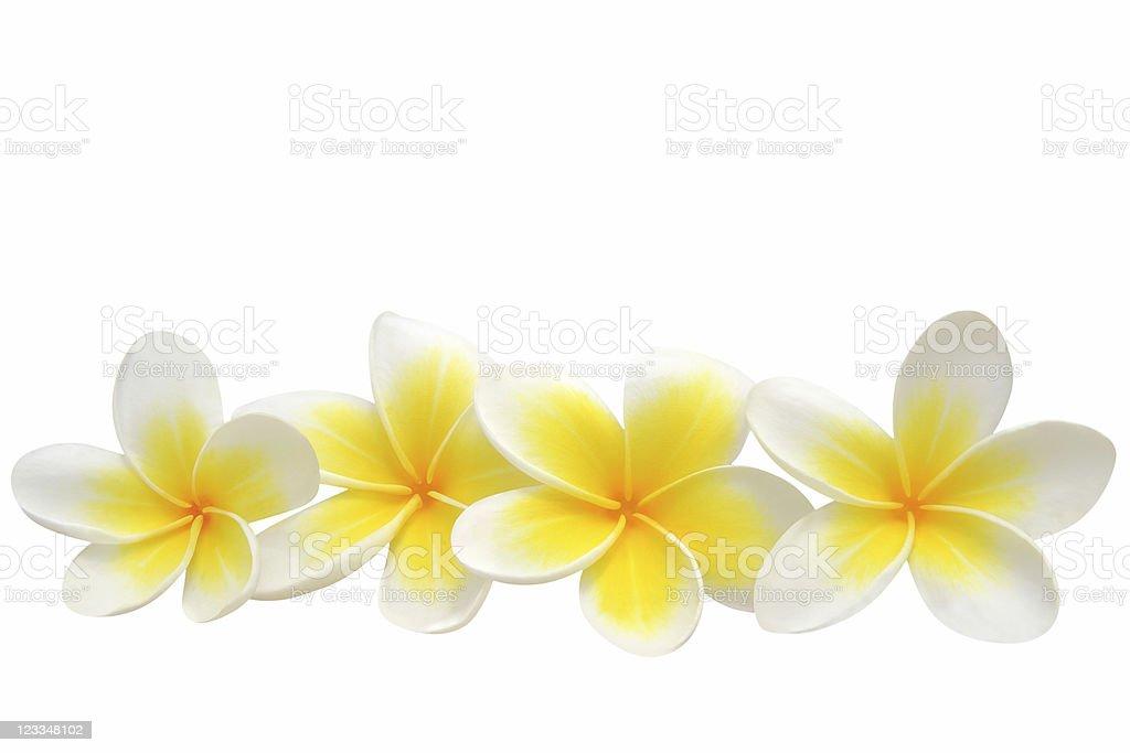Frangipani (plumeria) flowers stock photo