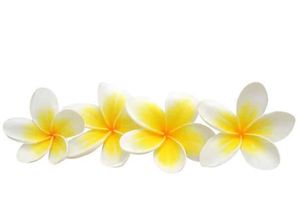 frangipani (plumeria) flowers - hawaiian flowers stock photos and pictures