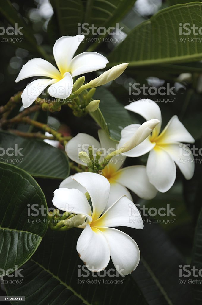 Frangipani Flowers royalty-free stock photo