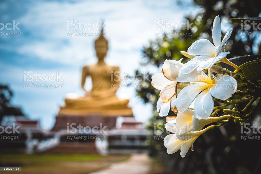 Frangipani flowers with drop of water and blur buddha statue royaltyfri bildbanksbilder