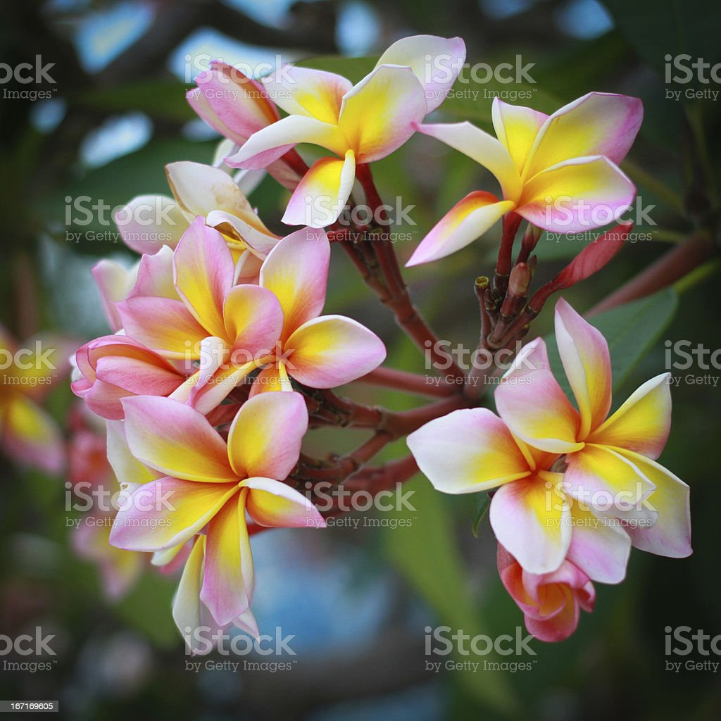 frangipani flowers with leaves in background royalty-free stock photo