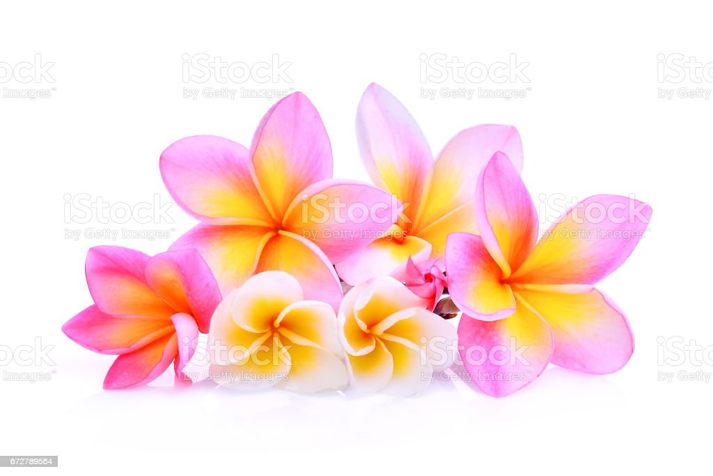 frangipani flowers with water drop isolated on white background stock photo