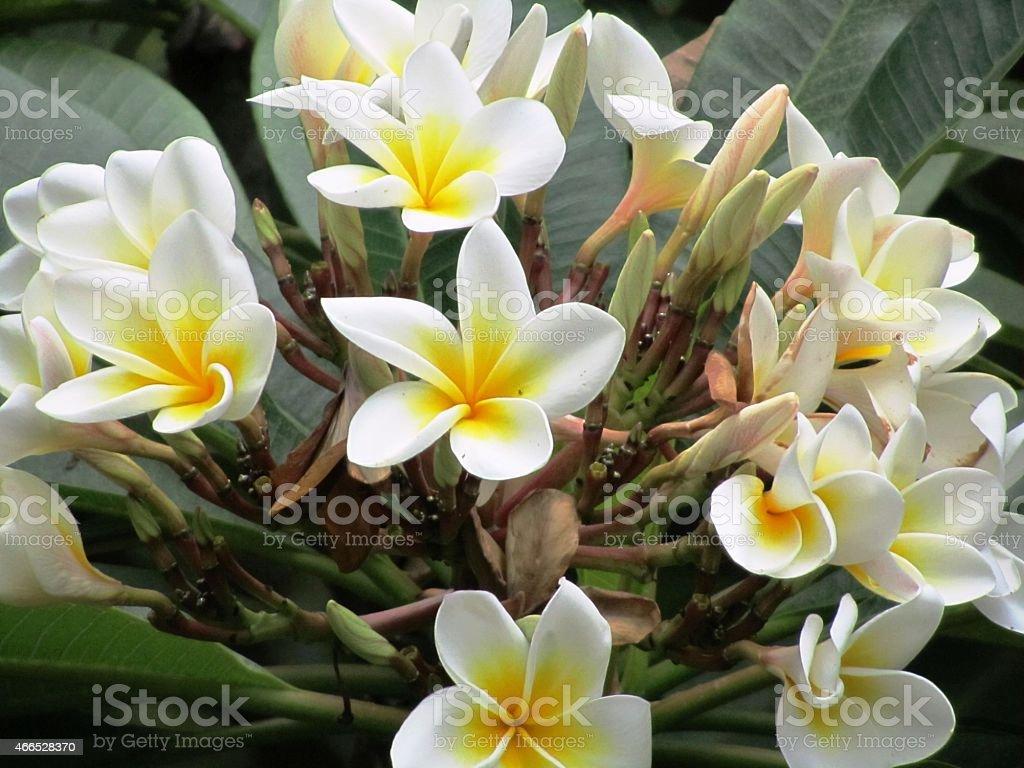 Frangipani, Frangipani tree in Kenya, 'Bali Flower', Plumeria stock photo