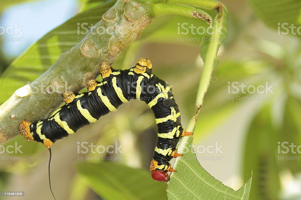 Frangipani Hornworm stock photo