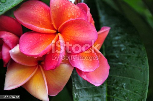 pink frangipani flowers with drops of water - plumeria flower in the rain - photo by M.Torres