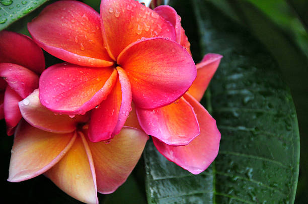 frangipani in the rain - hawaiian flowers stock photos and pictures