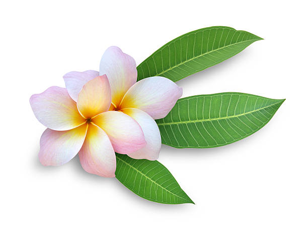 a frangipani on a white background - hawaiian flowers stock photos and pictures