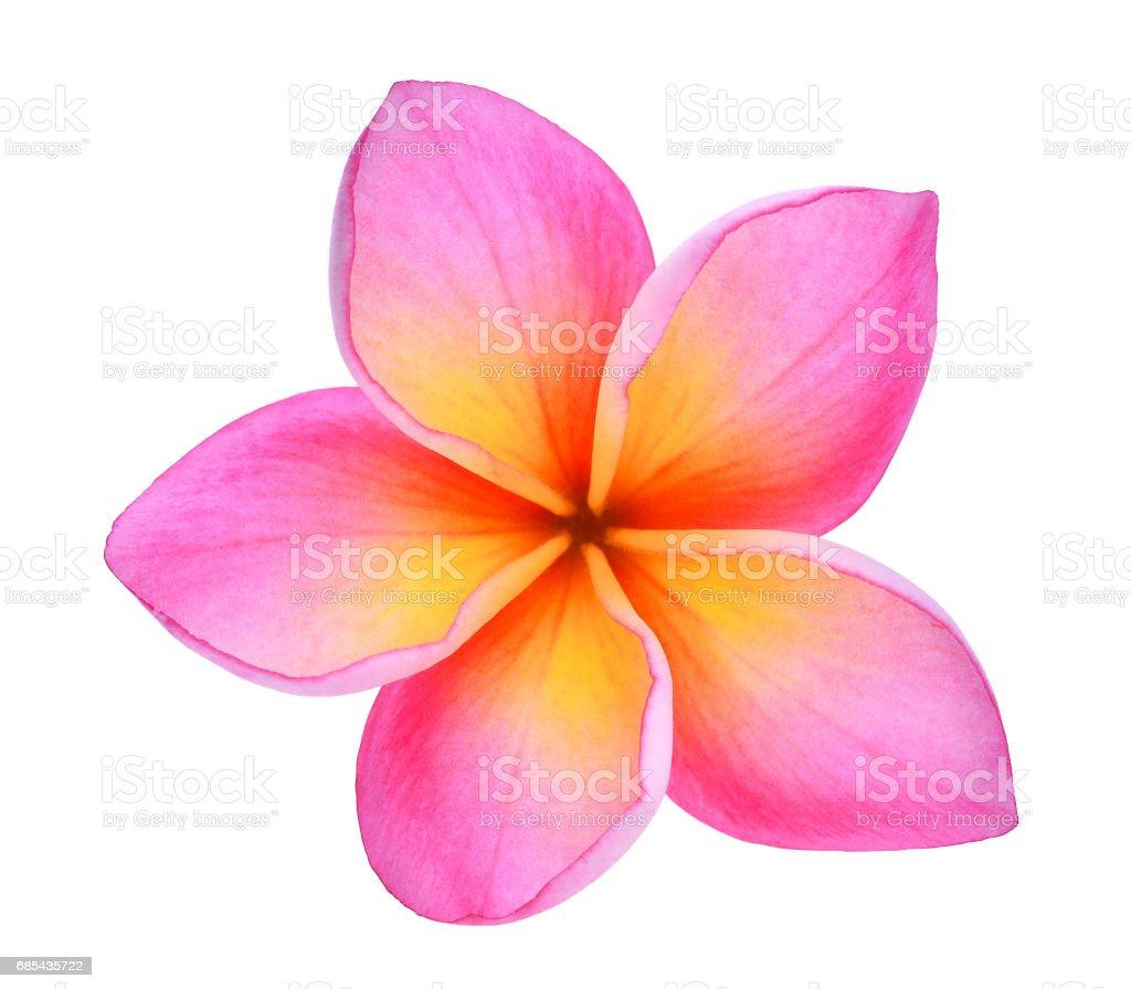 frangipani or plumeria (tropical flowers) isolated on white background stock photo