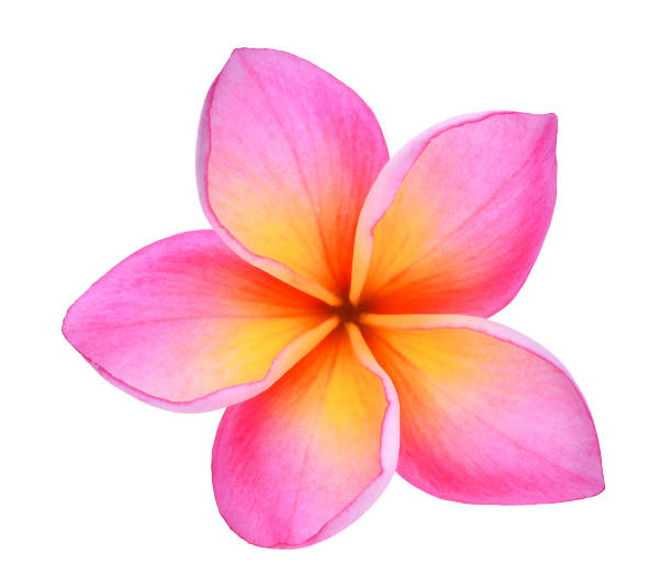frangipani or plumeria (tropical flowers) isolated on white background stock photo