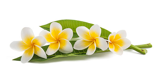 frangipani - hawaiian flowers stock photos and pictures