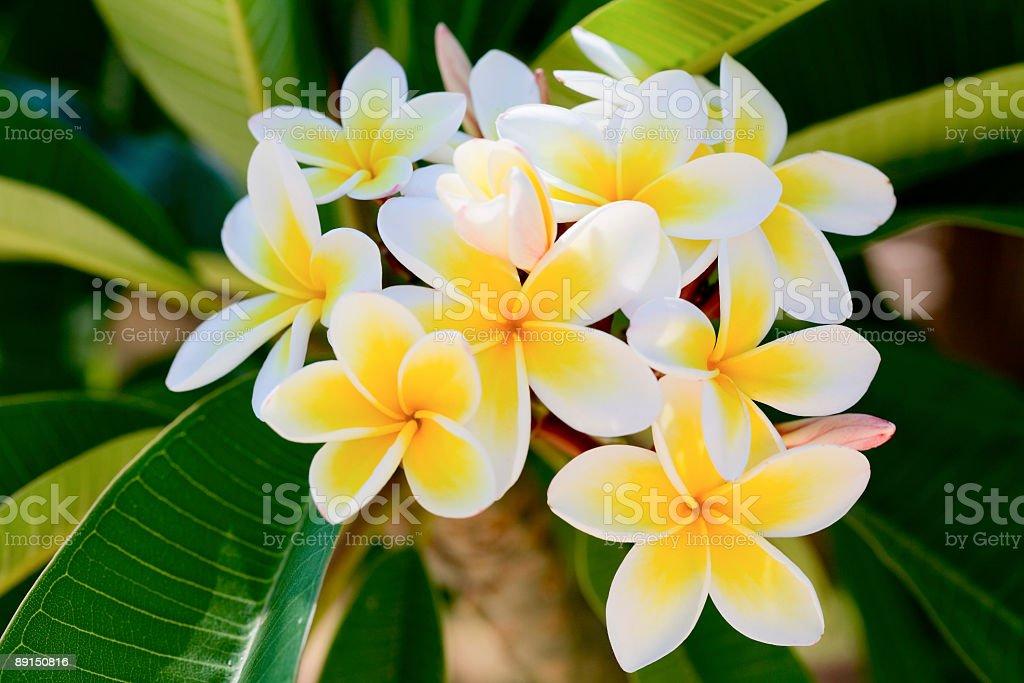 frangipani (plumeria) stock photo